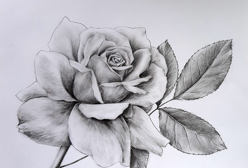 Как нарисовать розу карандашом поэтапно для начинающих
