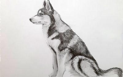 Как нарисовать собаку Хаски карандашом